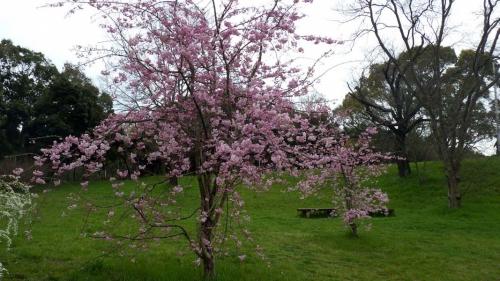 大泉緑地の桜 (2016年)(加呂登橋の近くの桜)