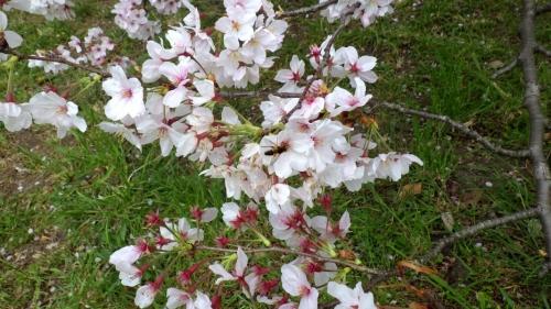 大泉緑地の桜 (2016年)(双ヶ丘の桜:蜂と一緒に)