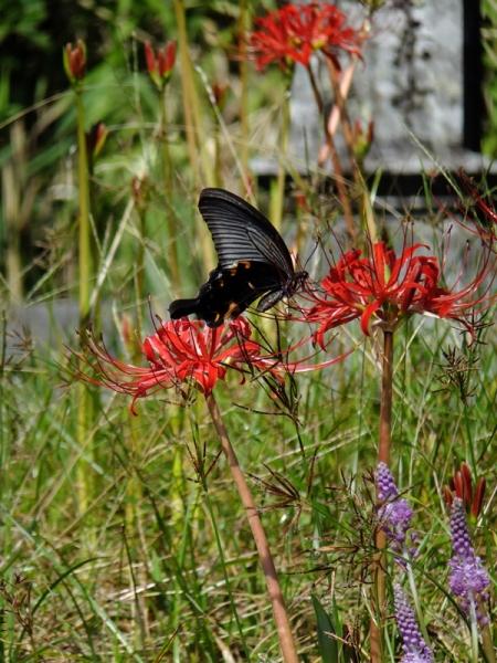 彼岸花に蝶