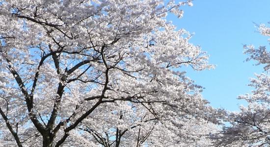 いよいよ桜開花☆ピンクの季節がやってきます