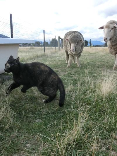 羊の国のラブラドール絵日記シニア!!「小料理屋ひつじのくに」5