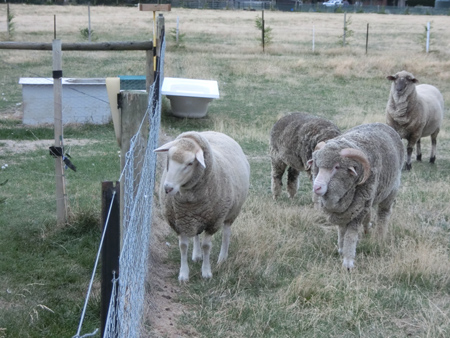 羊の国のラブラドール絵日記シニア!!「ファームとテオ母さん」5
