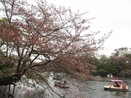井の頭公園の桜も終わり