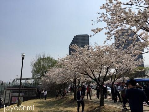 漢江公園_桜_2016年4月 (5)