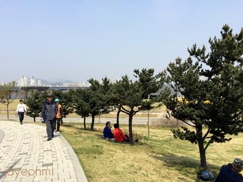 漢江公園_桜_2016年4月 (6)