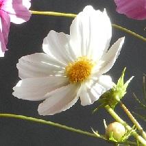 43 白いコスモスの花言葉