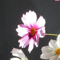 44 ピンクのコスモスの花言葉
