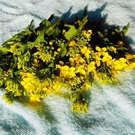 ④摘み取った菜の花