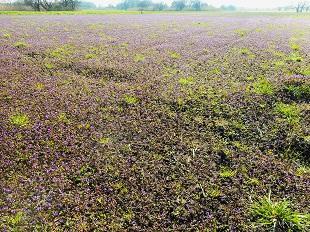 ⑥紫の絨毯
