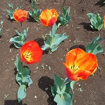 ①花のオアシス チューリップ
