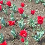 ③花のオアシス チューリップ