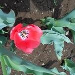 ⑥花のオアシス チューリップ
