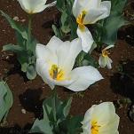 ⑪花のオアシス チューリップ