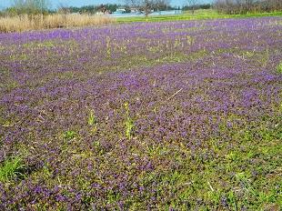 ⑦紫の絨毯その2