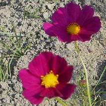 50 赤いコスモスの花言葉