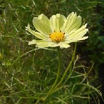 45 黄色いコスモスの花言葉・・・