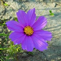 46 紫のコスモスの花言葉・・・