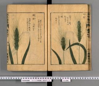 本草図譜巻四十「大麦」
