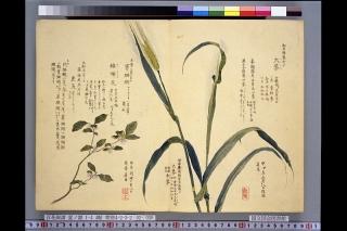 梅園草木花譜夏之部巻2「大麦」