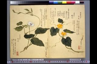 梅園草木花譜夏之部巻2「越瓜・豇豆」