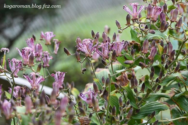 庭に咲くホトトギス2