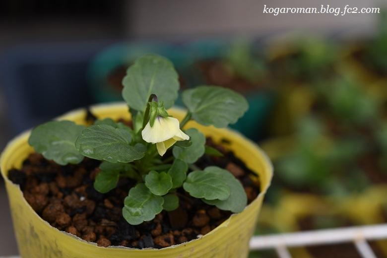 よく咲くスミレ種まき日記(4)4