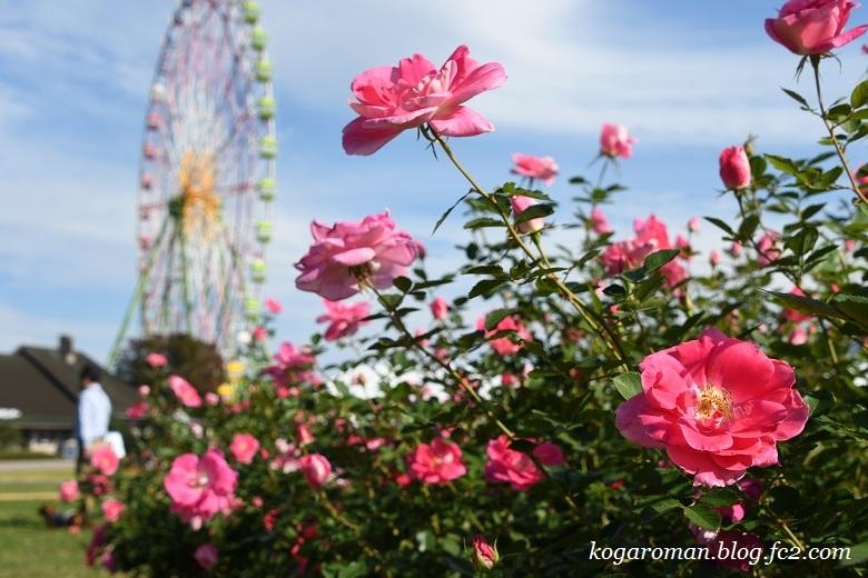 大観覧車と秋のバラ2