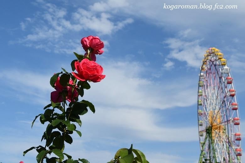 大観覧車と秋のバラ3