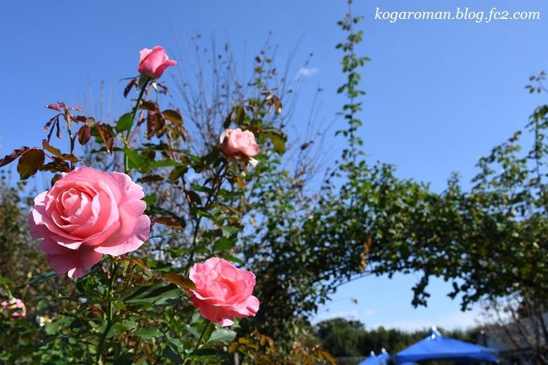 トレジャーガーデンの秋バラ