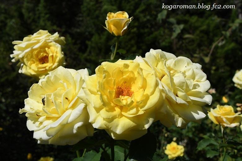 トレジャーガーデンの秋バラ2