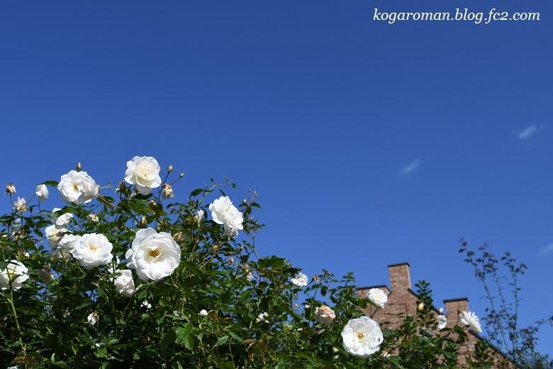 トレジャーガーデンの秋バラ6