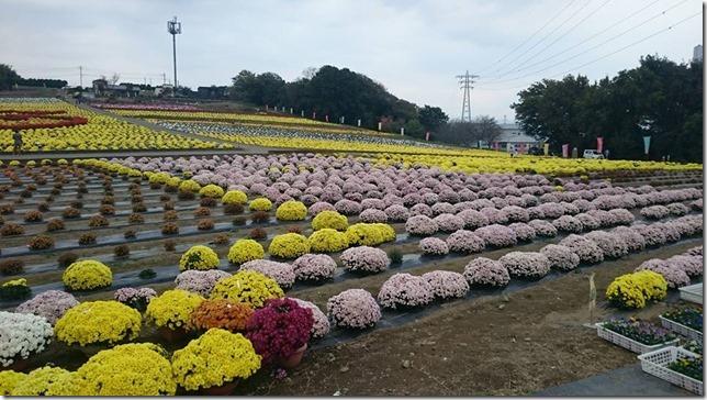小菊の里、開花状況 (H27/11/07)