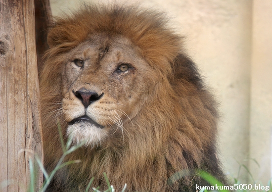ライオン_1132