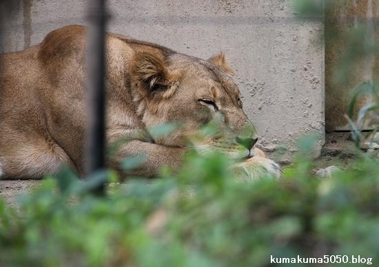 ライオン_1148