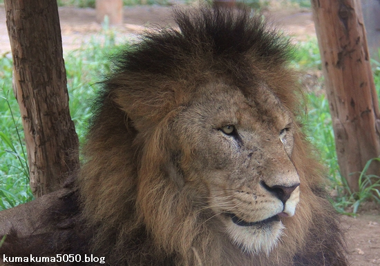 ライオン_1152