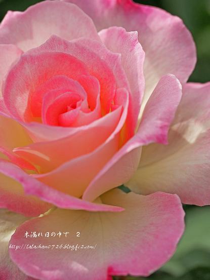 ピンクでふんわりのバラ
