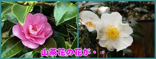 山茶花のピンクと白