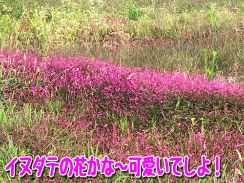 イヌダテの花