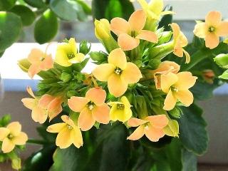 160315_3837今朝の「カランコエ」の花VGA