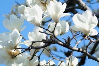 160325_木蓮の花