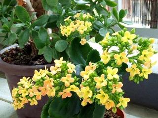 160327_3851今朝の「カランコエ」の花wide_VGA