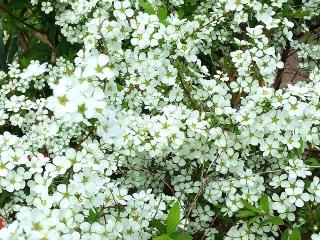 160330_3854近所の花壇の「ゆきやなぎ」VGA