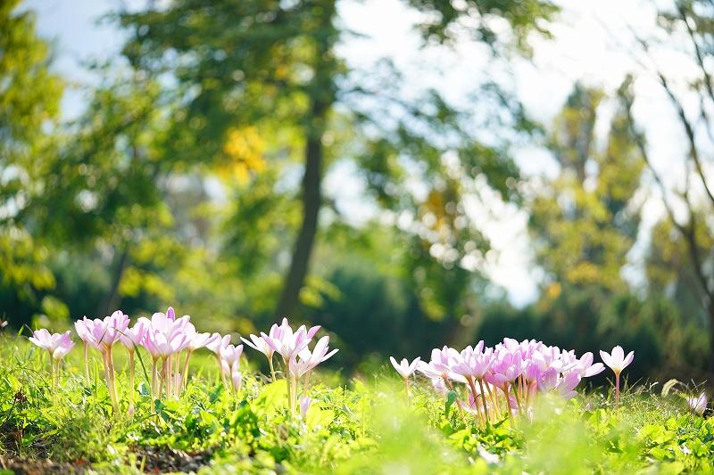 秋咲きクロッカス