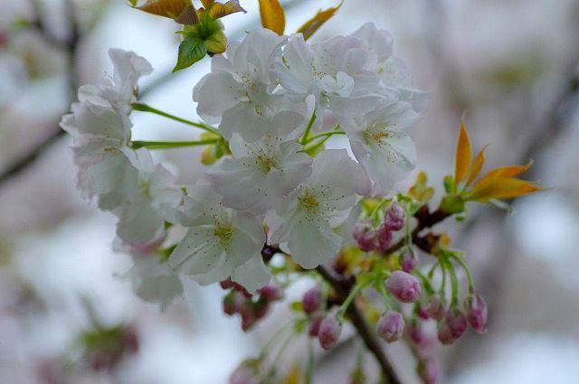 マクロで桜