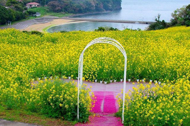 ハートの菜の花畑