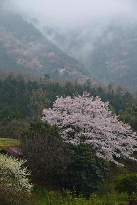 「霧中桜1」 (徳島県つるぎ町)