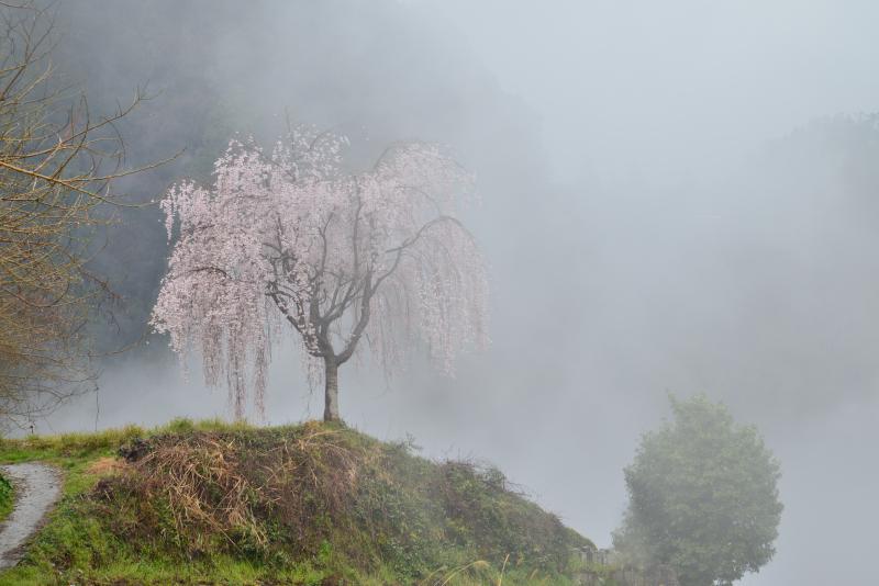 「霧の一本桜」 (徳島県つるぎ町)