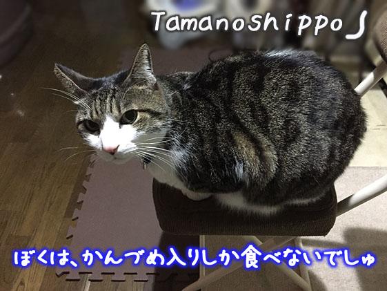 椅子の上で動かない猫(文句タレちび)缶詰めが欲しいニャ~