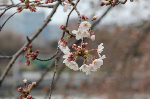 20160331 桜
