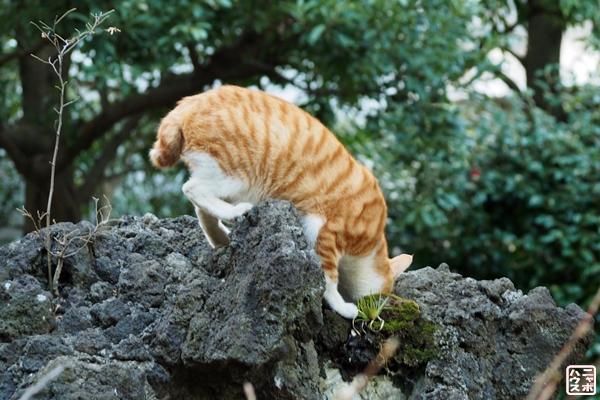 岩場の水飲み場 猫のチャトラ
